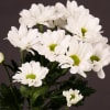 Chrysanthemum Chic (Bunch of 10) Online