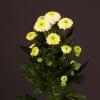 Chrysanthemum Ferry (Bunch of 10) Online