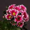 Chrysanthemum Firmenich (Bunch of 10) Online