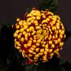 Chrysanthemum Fuego Dark (Bunch of 10) Online