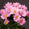 Chrysanthemum Grand Pink (Bunch of 10) Online
