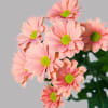 Chrysanthemum Grand Salmon (Bunch of 10) Online