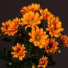Chrysanthemum Mango (Bunch of 10) Online