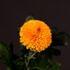 Chrysanthemum Paladov (Bunch of 10) Online
