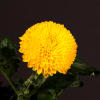 Chrysanthemum Paladov Sunny (Bunch of 10) Online