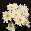 Chrysanthemum Radost (Bunch of 10) Online