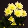 Chrysanthemum Radost Yellow (Bunch of 10) Online