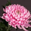 Chrysanthemum Rossano Dark (Bunch of 10) Online