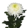 Chrysanthemum Se Magnum (Bunch of 10) Online