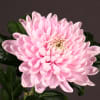 Chrysanthemum Se Rosanno (Bunch of 10) Online