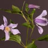 Clematis Star River (Bunch of 10)