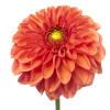 Dahlia Orange Fox (Bunch of 10) Online