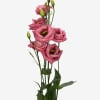 Eustoma Du Rosita Hot Pink (Bunch of 10) Online