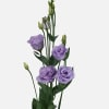 Eustoma Du Rosita Lavender (Bunch of 10) Online