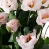 Eustomas Du Arena Light Pink (Bunch of 10) Online