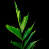 Fish Tail Leaf (Bunch of 10) Online