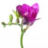 Freesia Purple Rain Online