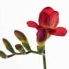 Freesia Red passion Online