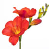 Freesia Tons Ten Red Online