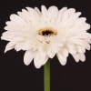 Gerbera Black Ice (Bunch of 10) Online