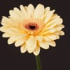 Gerbera Cream Eye (Bunch of 10) Online