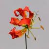 Gloriosa Orange Long (Bunch of 10) Online