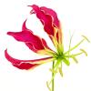 Gloriosa Rothschildiana Long (Bunch of 10) Online