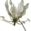 Gloriosa White (Bunch of 10) Online