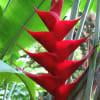 Heliconia Arawah (per Stem) Online