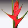 Heliconia Camerun (per Stem) Online