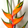 Heliconia Peachy Pink (per Stem) Online