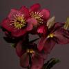Helleborus Queens Red (Bunch of 10) Online