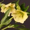 Helleborus Queens Yellow (Bunch of 10) Online