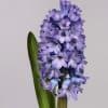 Hyacinths Delft Blue (Bunch of 10)