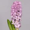 Hyacinths Splendid Cornelia (Bunch of 10)