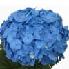 Hydrangea Bela (Bunch of 5) Online