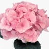 Hydrangea Elbtal Light Pink (Bunch of 5) Online