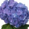 Hydrangea Elbtal Purple (Bunch of 5) Online