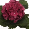 Hydrangea Esmee (Bunch of 5) Online