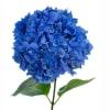 Hydrangea Macro Pimpernel (Bunch of 5) Online