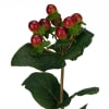 Hypericum Inodorum Magical Seasons (Bunch of 10) Online