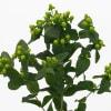 Hypericum Selva Romance (Bunch of 10) Online