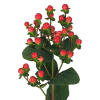 Hypericum Tomato Flair (Bunch of 10) Online