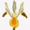 Iris apollo (Bunch of 10) Online