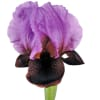 Iris Atropurpurea Ziv (Bunch of 10) Online