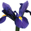 Iris Blue Magic (Bunch of 10) Online