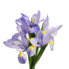 Iris Germanica Cup Race (Bunch of 10) Online