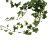 Ivy Leafs (Bunch of 5) Online