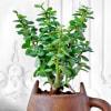 Gift Jade Plant in Feline Ceramic Planter