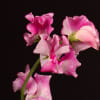 Lathyrus Misty Pink (Bunch of 10) Online